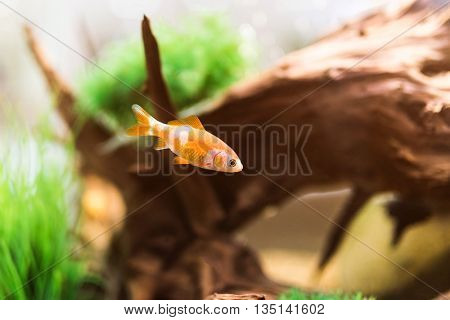 single beautiful golden fish in aquarium with decorations
