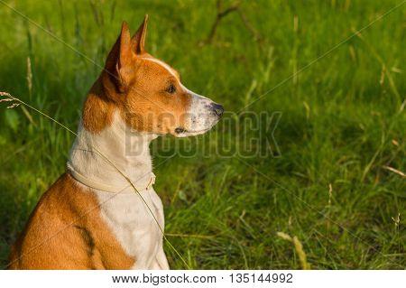 Outdoor portrait of gorgeous basenji dog delighting warm evening spring sun