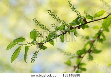 bird cherry branch in the beginning of flowering