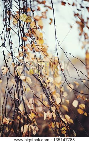 The long branches of the birch in autumn with withered yellow leaves