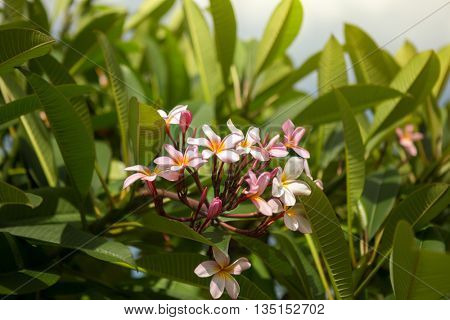 Beautiful pink frangipani on the bushes