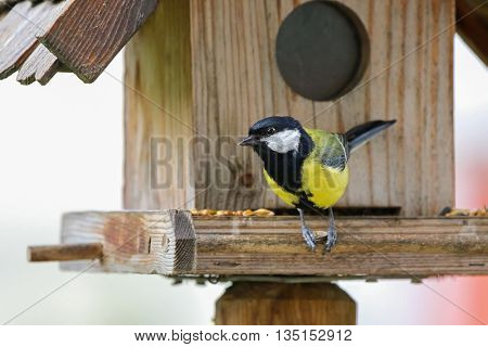 Cute little Great tit bird in yellow and black color (Parus major) perching on wooden bird feeder with seeds during summer in Europe