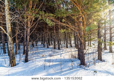 beautiful pine forest in winter lit by the sun