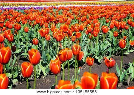 Low angle view of a tulip field in Woodburn Oregon