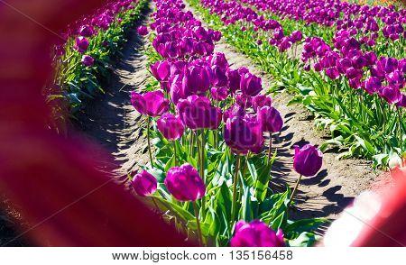 Beautiful view of lush purple tulips in Woodburn Oregon