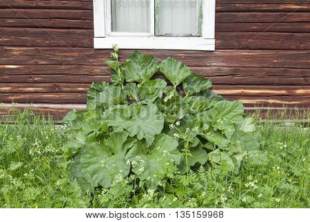 Rhubarb, pie plant this side a wooden, log wall. Falu red painted wall house out in the backcountry.