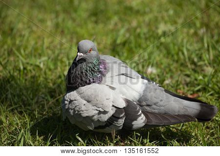 rock pigeon (Columba livia domestica) sitting on the grass