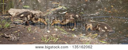 nestling Mallard ducks (Anas platyrhynchos) looking for food on the edge of the pond