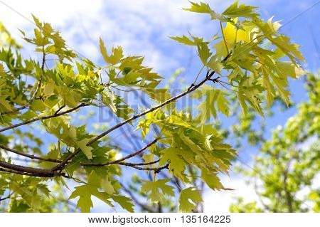 silver maple tree leaves closeup in front of the sky