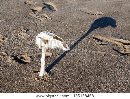 White kangaroo skull elevated on long bone on a natural wet sand background in Western Australia.