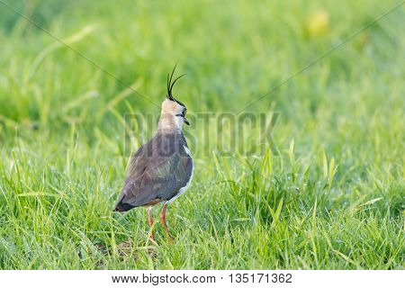 Northern lapwing walking in grass