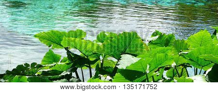 Elephant Ear plants, also known as Colocasia and Taro, at Rainbow Springs State Park, the source of the Rainbow River in central Florida.
