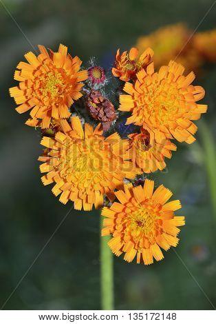 Orange Hawkweed or Fox-and-Cubs - Pilosella aurantiaca