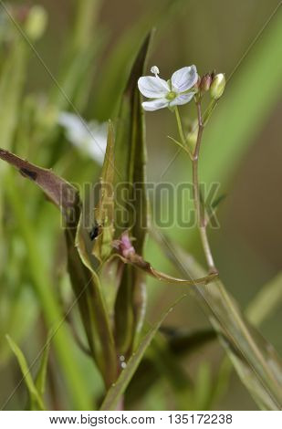 Marsh Speedwell - Veronica scutellata Small Wetland Flower