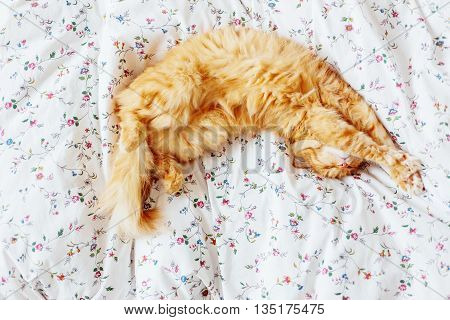 Cute ginger cat lying in bed. Fluffy pet top view. Cozy home background.