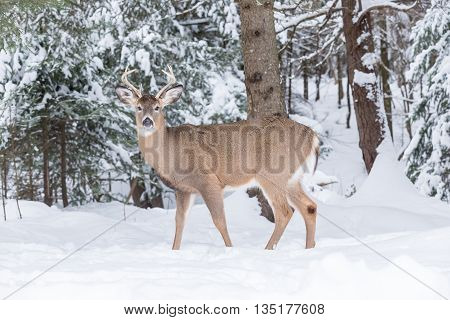 A large, male deer in a winter forest