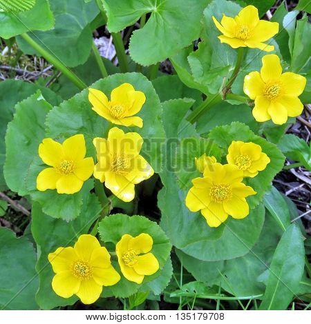 Marsh Marigold flower in Newfoundland 6 June Canada