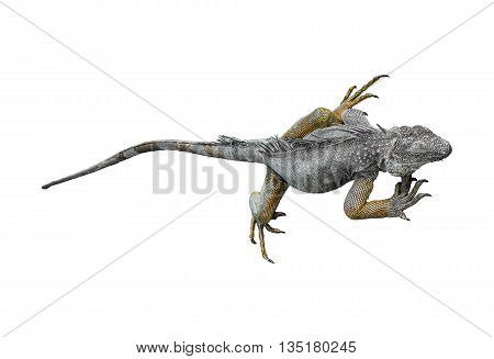 Full body iguana reptile isolated on white background.