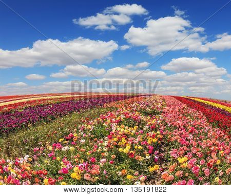 Huge fields of garden buttercups /ranunculus/  ripened for harvesting. Sunny spring day in the south of Israel