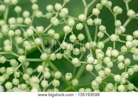 Bushy white flowers of elderberry tree sambucus background