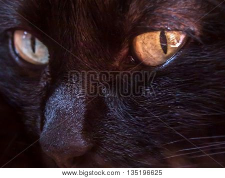 Black cat with Intense stare and golden yellow eyes