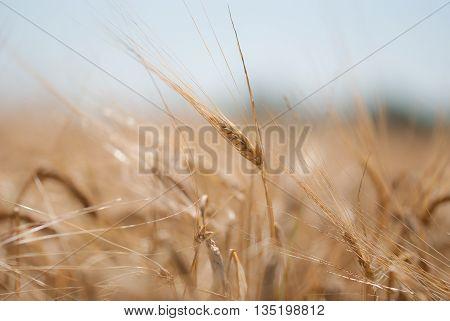A field of wheat on a farm