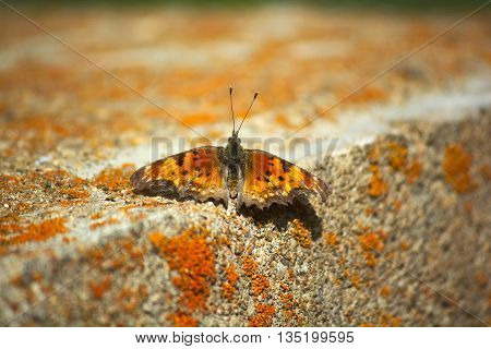 Hoary Comma Orange Black and Yellow Butterfly on a Moss Covered Concrete Block