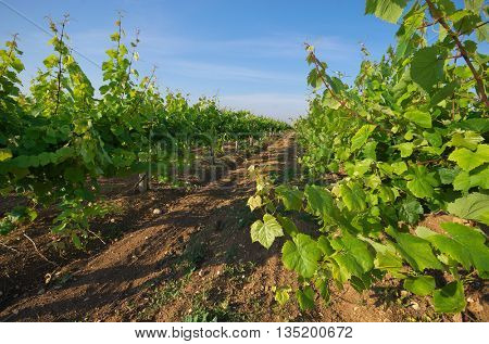 Vineyard row. Composition and agricultural nature.