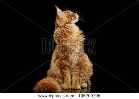 Curious Red Maine Coon Cat Sitting and Looking up Isolated on Black Background, Front view