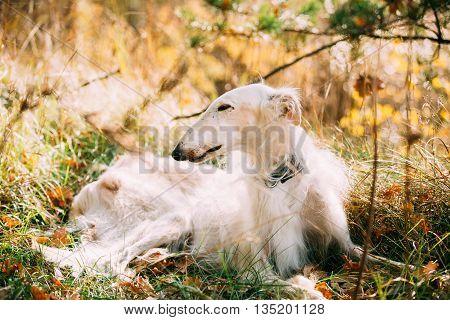 White Russian Borzoi, Russian Hunting Dog Sit In Autumn Grass. Russkaya Psovaya Borzaya, Psovoi.