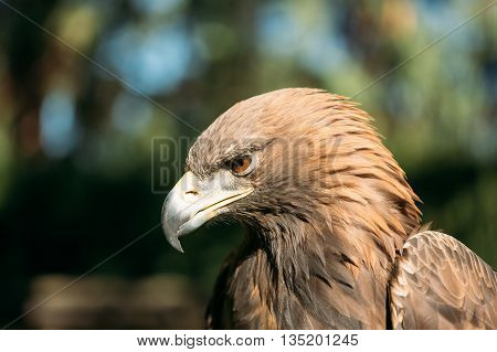 Close Up Eagle Haliaeetus Albicilla On Green Background. Wild Bird