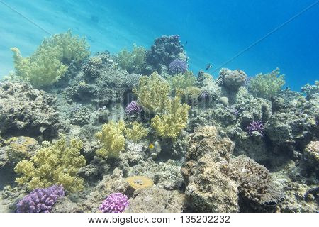 colorful coral reef at the bottom of tropical sea underwater.