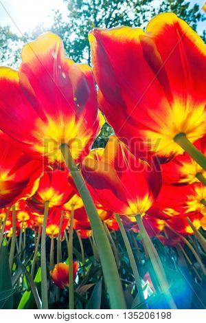 The colorful tulips close up against blue sky in Keukenhof flower garden, Lisse, Netherlands, Holland