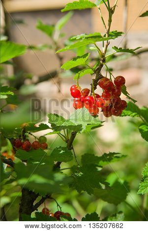 Ripe currant berries grow on the branches