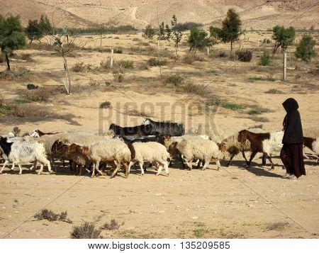 Shepherdess in the Desert dressed in black herding a flock of goats