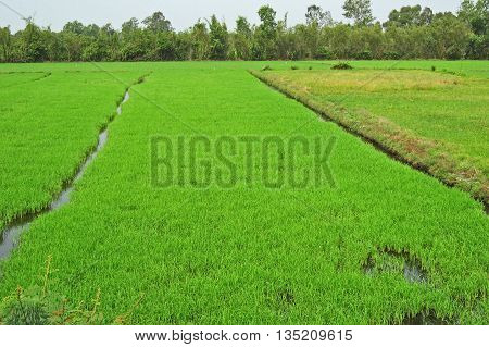 Lush Green Rice Paddy, Mekong Delta, Vietnam