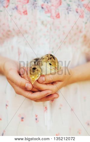 Chick On Hand Isolated On White Background. Baby Chicken In Hand