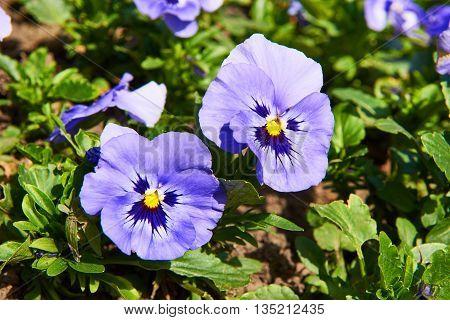Flower Blue Viola In Garden