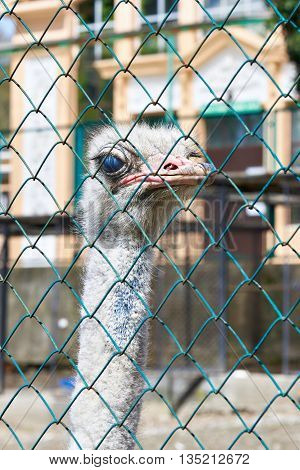 The ostrich in the zoo behind bars