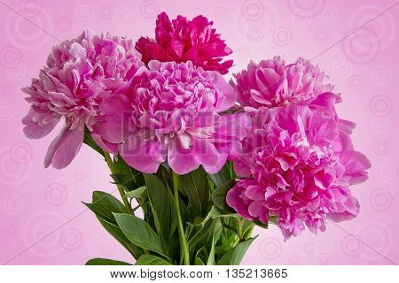 Greeting card with Bouquet of five pink peonies with green leaves close up on pink gradient background