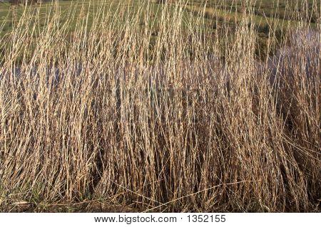 Dead Reeds