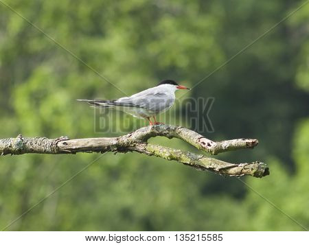 Common tern Sterna hirundo on dry branch of dead tree close-up portrait selective focus shallow DOF