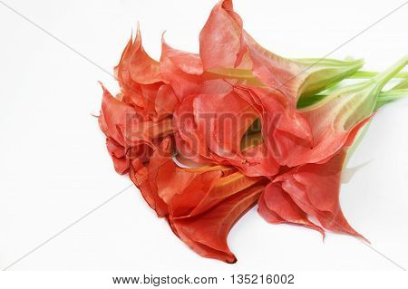 Pink brugmansia flowers on a white background