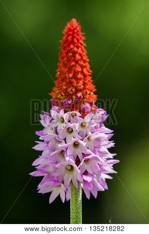 Detail of the spike. Pink flower tipped with red