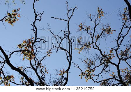 acacia tree branches silhouettes with new spring leaves.