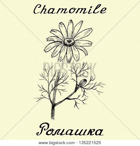 Chamomile. Drawing and hand-lettering. English and Russian texts. Eco Friendly. For labels flyers online stores. Natural cosmetic. Bio products. Botanical sketch
