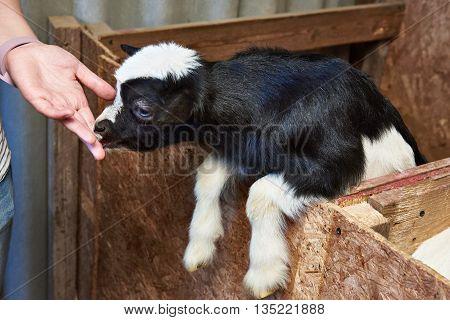 Goat Kid Licks Hand Of Man On Farm