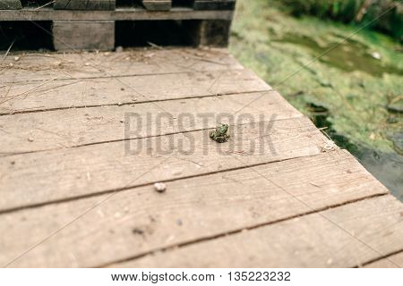on a wooden bridge at the river sits the little green frog