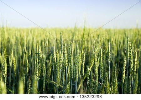Ears of wheat growing on a farm field