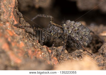 Wolf spider (Pardosa sp.) with spiderlings. Female spider carrying young on abdomen in the family Lycosidae